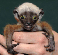 I see your warthog, I see your skunk, I raise you a baby lemur!: I see your warthog, I see your skunk, I raise you a baby lemur!