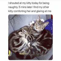 @hilarious.ted posts the cutest memes!!: I shouted at my kitty today for being  naughty. 5 mins later I find my other  kitty comforting her and glaring at me @hilarious.ted posts the cutest memes!!