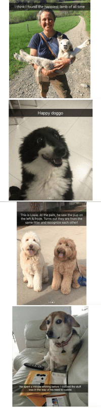 <p>Animal snaps<br/></p>: I think I found the happiest lamb of all time   Happy doggo   This is Louie. At the park, he saw the pup on  the left & froze. Turns out they are from the  same litter and recognize each other!   h@  He spent a minute whining before I realized the stuff  was in the way of his need to cuddle <p>Animal snaps<br/></p>