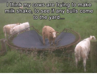 milkshake: I think my cows are trying to make  milk shake, to see if any bulls come  to the yard
