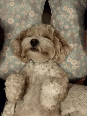 I think our dog learned to sleep like a human from us. She somehow learned to stabilize her head in between our pillows.: I think our dog learned to sleep like a human from us. She somehow learned to stabilize her head in between our pillows.