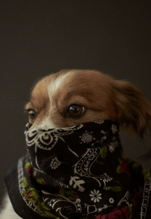 I took a photo of my housemate's dog taking proper face mask precautions: I took a photo of my housemate's dog taking proper face mask precautions