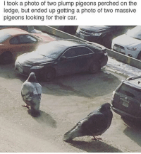 Dude, Funny, and Car: I took a photo of two plump pigeons perched on the  ledge, but ended up getting a photo of two massive  pigeons looking for their car. Dude, Where's my car? I dunno dude