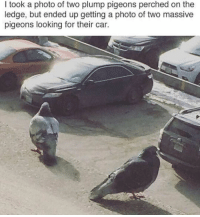 plump: I took a photo of two plump pigeons perched on the  ledge, but ended up getting a photo of two massive  pigeons looking for their car.