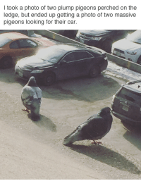 <p>Algunos verán palomas gigantes, yo veo potenciales cagones gigantes</p>: I took a photo of two plump pigeons perched on the  ledge, but ended up getting a photo of two massive  pigeons looking for their car. <p>Algunos verán palomas gigantes, yo veo potenciales cagones gigantes</p>