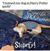 """Harry Potter, Potter, and Dog: """"I trained my dog in Harry Potter  spells""""  Stupefv! We all know someone this Harry Potter obsessed! ⚡️😍😍"""