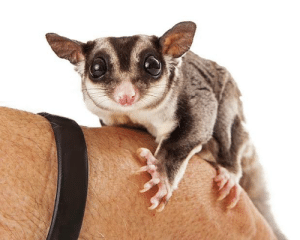 I want to cuddle him - this is a sugar glider: I want to cuddle him - this is a sugar glider