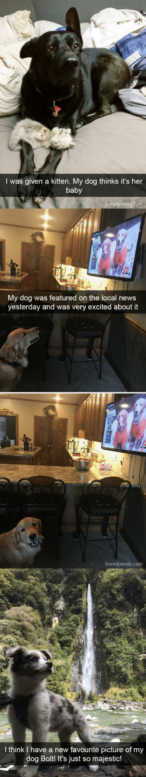 babyanimalgifs:  Dog snapsvia @boredpanda @animalsnaps​: I was given a kitten. My dog thinks it's her  baby  boredpanda.com   48  My dog was featured on the local news  yesterday and was very excited about it  boredpanda.com   I think I have a new favourite picture of my  dog Bolt It's just so majestic! babyanimalgifs:  Dog snapsvia @boredpanda @animalsnaps​