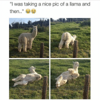 "(@drsmashlove ): ""I was taking a nice pic of a llama and  then (@drsmashlove )"