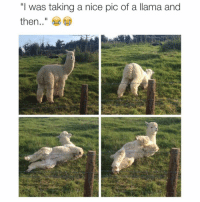 """😂😂😂😂 lmao (@_theblessedone): """"I was taking a nice pic of a llama and  then 😂😂😂😂 lmao (@_theblessedone)"""