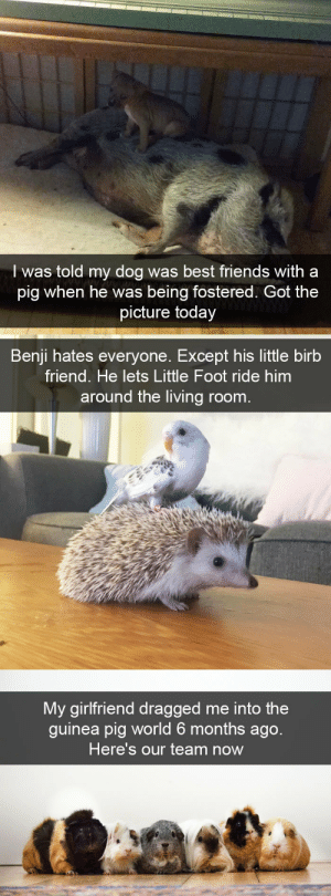 animalsnaps:Animal snaps: I was told my dog was best friends with a  pig when he was being fostered. Got the  picture today   Benji hates everyone. Except his little birb  friend. He lets Little Foot ride him  around the living room.   My girlfriend dragged me into the  guinea pig world 6 months ago.  Here's our team now animalsnaps:Animal snaps