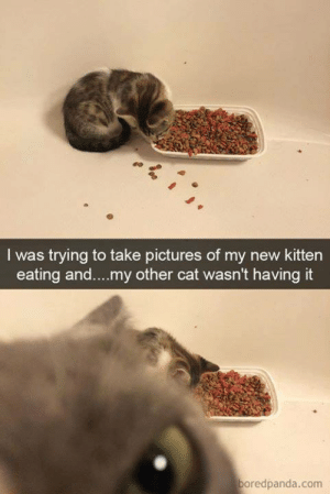 Memes, Pictures, and 🤖: I was trying to take pictures of my new kitten  eating and....my other cat wasn't having it  boredpanda.com