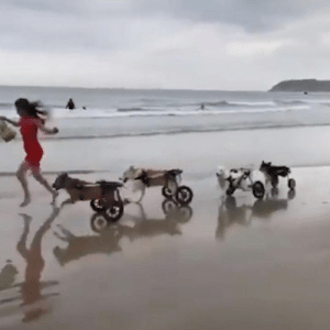 """I witnessed a doggy wheelchair meetup at the beach today"" 😍: ""I witnessed a doggy wheelchair meetup at the beach today"" 😍"