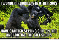 Because black lives matter: I WONDER IF GORILLAS IN OTHER ZOOS  HAVE STARTED SETTING SHIT ON FIRE  AND LOOTING THE GIFT SHOPS  funny CO Because black lives matter