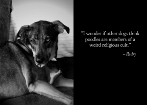 "Our Kelpie, Ruby getting philosophical.: ""I wonder if other dogs think  poodles are members of a  weird religious cult.""  - Ruby Our Kelpie, Ruby getting philosophical."