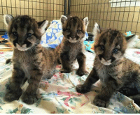 Memes, Work, and Cubs: I work at a zoo that just rescued these fluffy cougar cubs..