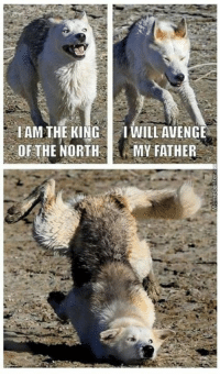 Memes, 🤖, and King: IAM THE KING  I WILL AVENGE  OF THE NORTH  MY FATHER Here comes the King in the North! The King in the North! #GameofThrones www.memecenter.com/fun/2986085/robb-stark-in-a-nutshell  Go to http://plus.google.com/+memecenter for more funny memes and pics!