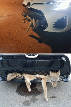 """icantwritegood: 3hunnitcreditscore:  chantosakura:  cliomancer:  bunjywunjy:  rjzimmerman:  From the Facebook pages of Project Coyote/Classic Cars USA: Last week on my way to work in the early morning, a coyote darted in front of my car and I hit it. I heard a crunch and believed I ran over and killed it. Upon stopping at a traffic light by my work, a construction woman notified me that there was in fact a coyote still embedded in my car. When I got out to look, this poor little guy was looking up and blinking at me. I notified Alberta fish and wildlife enforcement right away who came to rescue him. Miraculously, he was freed and had minimal injuries despite having hitched a ride from Airdrie to Calgary at highway speeds! Their biologist checked him over and gave him the good to go. They released him in Kananaskis. Clearly mother nature has other plans for this special little guy!-Georgie Knox  FOOD CHAIN, BABYYYyYyy  Plot-essential NPC.   I'm dying at the fact that he looks only like…mildly perturbed and inconvenienced by this at most.    """"Well shit, this is not how I expected to spend my day""""  the coyote on the highway like : icantwritegood: 3hunnitcreditscore:  chantosakura:  cliomancer:  bunjywunjy:  rjzimmerman:  From the Facebook pages of Project Coyote/Classic Cars USA: Last week on my way to work in the early morning, a coyote darted in front of my car and I hit it. I heard a crunch and believed I ran over and killed it. Upon stopping at a traffic light by my work, a construction woman notified me that there was in fact a coyote still embedded in my car. When I got out to look, this poor little guy was looking up and blinking at me. I notified Alberta fish and wildlife enforcement right away who came to rescue him. Miraculously, he was freed and had minimal injuries despite having hitched a ride from Airdrie to Calgary at highway speeds! Their biologist checked him over and gave him the good to go. They released him in Kananaskis. Clearly mother nature has o"""