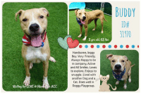 """Andrew Bogut, Children, and Dogs: ID#  31970  3 yrs old, 63 Ibs  Handsome, leggy  Boy. Very Friendly,  Always Happy to be  in company, Active  and All Smiles. Loves  to explore, Enjoys to  snuggle. Lived with  another Dog and a  Cat. Does well in  Doggy Playgroup.  Waiting for LOVE @ MamhaACC ** RETURNED 7/16/18 ** :(  Handsome Buddy <3 A volunteer writes: A potential adopter alerted me to Buddy, swooning in front of his kennel, emphatically saying, """"I'm obsessed!"""" I leaned in to see a lanky, leggy dog, biscotti colored with creamy markings and sweet freckles on his snoot. Ah, I see what they meant) Quickly leashed and off we went. Buddy does appear to be house trained, and moves with purpose, so a front clip harness will keep regularly scheduled walks pleasant. Buddy has lived with another dog and cat, but best to introduce resident pets to ensure harmony. He can get a little barky with dogs but Buddy has enjoyed dog parks, and likes a lot of activity so a home that would be able to channel his activity with (puzzle toys, and Kongs for example) and enthusiasm would be a good fit. Buddy is one of those dogs who is all smiles, both in his handsome face and his whole strong and sweet caramel-coated body. His happiness is apparent as soon as we leave the shelter for our walk. He has so much to explore! Look at those children! And these flowers! And this leaf! Smiles all around. Buddy appears to be house-trained, doing his business quickly and without a fuss. He was a little distracted by some of the other dogs in the park, but quickly regained his composure each time and sat or stood nicely upon my request. Buddy appreciated treats, but did not beg. He joyfully accepted scritches and snuggles without being pushy or jumping on me. Who doesn't need a friend like this to pal around with? Come meet good boy Buddy today at the Manhattan Care Center.  VIDEO:  https://youtu.be/E5nApZ3AIcg  Buddy ID# 31970 Manhattan Animal Care Center 3 Yrs old, 63.2 lbs TAN / WHITE NEUTERED M"""
