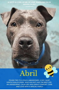 """Children, Click, and Dogs: ID 36777, @5 YRS., 49 LBS. OF LOVE. WAITS FOR YOU IN  BROOKLYN ACC  Abril  FOUND TIED TO A POLE & ABANDONED, A SHY, QUIET  GENTLE WALLFLOWER WHO HAS NOT HAD THE BEST LIFE.  AN UNASSUMING, CALM GIRL WHO SEEKS COMFORT, CARE  AND LOVE WITH A SPECIAL FAMILY TO BE KILLED – 8/13/2018  Found tied in the streets and abandoned, a sweet, shy, gentle wallflower dreams of a safe haven, and a special family of her own <3  Abril is quiet, Abril is calm, Abril is unassuming and patient and she is grateful for any love or attention she gets. She has not had the best life, and it shows. And though she is sad, beaten down, and does not expect kindness from a world that has treated her so badly, she has not let it change her loving spirit. She still dreams that someday, somehow, she will know what other pups know – happiness with a family who treat her like she is the center of the universe. Hope is her waking dream. As a volunteer writes: """"Abril is for now a little wallflower. She is so quiet it appears no one is home, and with her dark grey coloring, takes awhile to spot in her kennel. She flinches a bit as the leash goes around her neck, and hops hesitantly out, not sure what is happening. She's as quiet outdoors as in, deep in her own thoughts, and stoic to loud traffic and to attempts to stroke her. It may take some time to get through that wall of reserve, as Abril doesn't seem to have had the easiest life. She has nicks around her face and seems to have been used to breed. But she has a gentle way about her that indicates that with a slow approach, she would thrive. She could be a very comforting presence in the right home. Ask for Abril in Brooklyn."""" Would you consider changing Abril's life? Would you be the one to show her true happiness, possibly for the first time since she was born, 5 years ago? If so, you can Private Message our page or email us at MustLoveDogsNYC@gmail.com for assistance fostering or adopting her.   ABRIL, ID # 36777 @ 5 Yrs. O"""