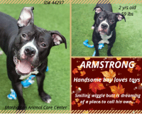 Andrew Bogut, Butt, and Dogs: ID# 44297  2 yrs old  9 lbs  ARMSTRONG  Handsome bay loves toys  Smiling wiggle butt is dréamihg  of a place to call his own  Manhattan Animal Care Center INTAKE DATE - 10/13/2018  Handsome boy loves toys! This smiling wiggle butt is dreaming of a place to call his own...will it be you who makes his dreams come true? Hurry for time is of the essence or the ACC will just make him gone forever.   Armstrong  ID# 44297 Manhattan Animal Care Center Age: 2 years old Male, Is Vaccinated: Yes, black/ white, Weight: 59 lbs Intake Date: 10-13-2018  http://www.nycacc.org/adopt/armstrong-44297  We want to get the dogs seen early to better their chances of survival, we will no longer wait for detailed information like owner surrender notes, Safers and volunteer write ups - but please check back frequently as we will add all if this information as we get it. THANX IN ADVANCE!  *** TO FOSTER OR ADOPT ***  If you would like to adopt a NYC ACC dog, and can get to the shelter in person to complete the adoption process, you can contact the shelter directly. We have provided the Brooklyn, Staten Island and Manhattan information below. Adoption hours at these facilities is Noon – 8:00 p.m. (6:30 on weekends)  If you CANNOT get to the shelter in person and you want to FOSTER OR ADOPT a NYC ACC Dog, you can PRIVATE MESSAGE our Must Love Dogs page for assistance. PLEASE NOTE: You MUST live in NY, NJ, PA, CT, RI, DE, MD, MA, NH, VT, ME or Northern VA. You will need to fill out applications with a New Hope Rescue Partner to foster or adopt a NYC ACC dog. Transport is available if you live within the prescribed range of states.  Shelter contact information: Phone number (212) 788-4000 Email adopt@nycacc.org  Shelter Addresses: Brooklyn Shelter: 2336 Linden Boulevard Brooklyn, NY 11208 Manhattan Shelter: 326 East 110 St. New York, NY 10029 Staten Island Shelter: 3139 Veterans Road West Staten Island, NY 10309