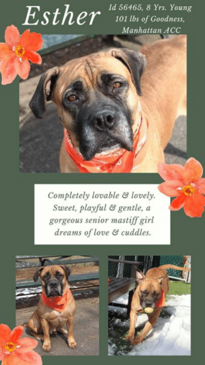 """A Dream, Andrew Bogut, and Beautiful: Id 56465, 8 Yrs. Young  101 lbs of Goodness  Manhattan ACC  Completely lovable lovely  Sweet, playful & gentle, a  gorgeous senior mastiff girl  dreams of love &cuddles INTAKE DATE – 3/7/2019  She's a magnificent mastiff, a gentle giant, a girl with a proverbial """"heart of gold."""" ESTHER is completely lovable, completely lovely, and a dream dog.  Soft, sweet, playful and kind, this beautiful senior is dreaming of a family to love her, give her cuddles, kisses and lots of treats.  Can you make her senior years golden?  If so, hurry and Message our page or email us at MustLoveDogsNYC@gmail.com to foster or adopt her now.  She's waiting with hope, at the Manhattan Center.   MY VIDEO:  Lovely Esther  <3  https://youtu.be/kJmaRo40IpE  ESTHER, ID# 56465, 8 Yrs. old, 101.6 lbs., Unaltered Female Manhattan ACC, Large Mixed Breed, Brown      Owner Surrender Reason:  Stray  Shelter Assessment Rating:  Medical Behavior Rating:  1.  Green  MEDICAL EXAM NOTES   DVM Intake Exam.  Estimated age: ~8-9 yrs based on PE. Microchip noted on Intake? History : stray.  Subjective / Observed Behavior - BAR, loose body. Allows all handling. Easily distracted with treats.  Evidence of Cruelty seen - none  Evidence of Trauma seen – none.  Objective:  BCS 7/9, EENT: Eyes clear, ears have mild yellow exudate, AU; no nasal or ocular discharge noted.  Oral Exam: dc 2/5; pd 2/5; attrition of the maxillary canines.  PLN: No enlargements noted.  H/L: No murmur ausculted; CRT < 2, Lungs clear, eupnic.  ABD: Non painful, no masses palpated.  U/G: intact female. no scar or tattoo seen.  MSI: Ambulatory x 4, skin free of parasites, no masses noted, multifocal crusts and papules throughout body.  CNS: Mentation appropriate - no signs of neurologic abnormalities. Rectal: externally normal.  Assessment:  superficial pyoderma r/o parasites, infection, allergies, dental disease, overweight, otitis externa.  Prognosis:  excellent.  Plan: ear cleaning and claro otic AU, simp"""
