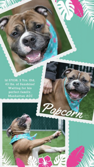 "Children, Chill, and Definitely: Id 57038, 3 Yrs. Old,  43 lbs. of Sunshine!  Waiting for his  perfect family,  Manhattan ACC  Popcorn Poor Popcorn has been returned -- 6/6/2019  He lights up a room. This ray of sunshine with his megawatt smile is POPCORN, a gorgeous, mushy faced wonder that (we admit!) has stolen our hearts. Joyful, social, super friendly and downright sweet, this gorgeous youngster dances on two legs, leaps for toys, and sits for treats. He'd be perfect for an active, fun family who will include him in all their outdoor fun. A wonderful companion, a perfect snuggle bunny, we love what volunteer Misha Barbour had to say when she wrote: ""Popcorn, delicious, bite-sized, and jumping for joy @ Manhattan ACC."" We concur. This little jumping bean is waiting, dreaming, and full of hope that a family will pick him for their own. How can you not want Popcorn by your side! SERIOUSLY!  <3  MESSAGE our page or email us at MustLoveDogsNYC@gmail.com for assistance fostering or adopting Popcorn. He's neutered and ready to roll!  His Foster At MACC Said THIS About Popcorn: If I had to describe the perfect dog, it would be Buster (aka Popcorn). He's well-mannered, medium energy, house trained, gentle with his toys, food and treats, knows commands (I've added ""look"" to his repertoire which is helpful on walks), he is content to sleep for 8 hours while I'm at work with no anxiety and is the sweetest cuddle bug with people and children. He will greet you with hugs when you get home and is happiest splayed across a lap.""  A volunteer writes: Dinner and a movie sounds great, sure, but my ideal evening is filled with something a little more fun. Something bite-sized, delicious, bursting with life and flavor. It's 3 year-old Popcorn! Now if you like your pups like you like your snacks you definitely need to meet this special boy. One glimpse of that smile, those wrinkles, those little legs giving hop, skip, and jump! I can guarantee Popcorn will leave you craving more. But this compact cutie is far from just good looks. Raise up your hand and watch popular Pop hop up on his hind legs and give you a spin! And maybe one more if he's feeling generous. So clear a spot on the couch, switch on the Netflix and get ready to chill, or, well be thoroughly entertained. Popcorn is waiting in adoptions at Manhattan ACC.  MY VIDEO: Good morning, Sunshine <3  (Popcorn in Fosterhome) https://www.youtube.com/watch?v=Q8X5aEbuixk  Popcorn shows off his tricks  https://youtu.be/D0MsP27wuTI  POPCORN aka BUSTER, ID# 57038, 3 Yrs. old, 55.4 lbs, Neutered Male Manhattan ACC, Medium Mixed Breed, Brown / White  Owner Surrender Reason:  ADOPTION RETURN Shelter Assessment Rating:  Medical Behavior Rating:   -----------------------------------------------------  NOTES FIRST STAY / Intake 03/14/19  POPCORN aka BUSTER, ID# 57038, 3 Yrs. old, 53.6 lbs, Neutered Male Manhattan ACC, Medium Mixed Breed, Brown / White  Surrender Reason: Stray / found tied to fence Shelter Assessment Rating: LEVEL 2 Medical Behavior Rating:   SHELTER ASSESSMENT SUMMARIES - Date of assessment: 17-Mar-2019  LEASH WALKING Strength and pulling: Moderate Reactivity to humans: None Reactivity to dogs: Moderate Leash walking comments: Barked at a dog  SOCIABILITY Loose in room (15-20 seconds): Distracted, sniffing room Call over: Approaches readily Sociability comments: Body soft  HANDLING Soft handling: Seeks contact Exuberant handling: Seeks contact Comments: Soft body, leans into pets  AROUSAL Jog: Follows (loose) Arousal comments: None  Knock: Approaches (loose) Knock Comments: None  Toy: No response  Toy comments: None  PLAYGROUP NOTES - DOG TO DOG SUMMARIES: 3/15/19: When greeting another dog through the gate, Popcorn would bark. Once off leash in the pen, he would be persistent in his greetings sometimes vocalizing.  3/20: Popcorn rushes in while barking and nipping the hindquarters of the helper dog.  MEDICAL BEHAVIOR - Date of initial: 14-Mar-2019 Summary: Allowed some handling, growled  ENERGY LEVEL:  We have no history on Popcorn so we cannot be certain of his behavior in a home environment. At the care center, he displays a medium level of activity.  BEHAVIOR DETERMINATION: Level 2 Behavior Asilomar TM - Treatable-Manageable  Potential challenges: On-leash reactivity/barrier frustration Potential challenges comments: Popcorn has been reactive towards other dogs at the care center. Please see handout on On-leash reactivity/barrier frustration.  MEDICAL EXAM NOTES:   20-Mar-2019 Progress Exam.  Patient was neutered today.  Rechecked a couple hours after surgery and he appeared to have a moderate amount of mucopurulent nasal discharge bilateral.  Also started sneezing.  No coughing or ocular discharge noted.  Lungs clear/eupenic with no crackles or wheezes.  A:CIRDC (new, mild to moderate).  Hx of otitis externa.  P:  -Move to iso.  -Start doxycycline 250 mg PO SID x 14 days, -Start enrofloxacin 136 mg tabs-1.5 tabs PO SID x 14 days, -Start Cerenia 30 mg PO SID x 4 days -Recheck day 7 and 14  14-Mar-2019 DVM Intake Exam. Estimated age: Approx 2-4 years. Microchip noted on Intake? Negative, placed at intake. History : Stray found tied to fence. Subjective: BARH, food motivated and easily distracted by food, allows full exam, but low growl during parts of medical treatments. Soft muzzle placed as precaution. Evidence of Cruelty seen – none. Evidence of Trauma seen – none. Objective: P = wnl, R = wnl, BCS = 5/9. EENT: Eyes clear, ears - yellow discharge, erythema AD>AS, no nasal or ocular discharge noted. Oral Exam: Mild tartar. PLN: No enlargements noted. H/L: NSR, NMA, Lungs clear, eupnic. ABD: Non painful, no, masses palpated. U/G: Male, two scrotal testicles. MSI: Ambulatory x 4, skin free of parasites, no masses noted, healthy hair coat. CNS: Mentation appropriate - no signs of neurologic abnormalities. Rectal: Externally normal. Assessment: Otitis AU. Prognosis: Good. Plan: Cleaned ears, mometomax instilled AU. Neuter. SURGERY: Okay for surgery  *** TO FOSTER OR ADOPT ***  If you would like to adopt a NYC ACC dog, and can get to the shelter in person to complete the adoption process, you can contact the shelter directly. We have provided the Brooklyn, Staten Island and Manhattan information below. Adoption hours at these facilities is Noon – 8:00 p.m. (6:30 on weekends)  If you CANNOT get to the shelter in person and you want to FOSTER OR ADOPT a NYC ACC Dog, you can PRIVATE MESSAGE our Must Love Dogs page for assistance.   PLEASE NOTE: You MUST live in NY, NJ, PA, CT, RI, DE, MD, MA, NH, VT, ME or Northern VA. You will need to fill out applications with a New Hope Rescue Partner to foster or adopt a NYC ACC dog. Transport is available if you live within the prescribed range of states. . Shelter contact information: Phone number (212) 788-4000 Email adopt@nycacc.org  Shelter Addresses: Brooklyn Shelter: 2336 Linden Boulevard Brooklyn, NY 11208 Manhattan Shelter: 326 East 110 St. New York, NY 10029 Staten Island Shelter: 3139 Veterans Road West Staten Island, NY 10309  *** NEW NYC ACC RATING SYSTEM ***  Level 1 Dogs with Level 1 determinations are suitable for the majority of homes. These dogs are not displaying concerning behaviors in shelter, and the owner surrender profile (where available) is positive.    Level 2  Dogs with Level 2 determinations will be suitable for adopters with some previous dog experience. They will have displayed behavior in the shelter (or have owner reported behavior) that requires some training, or is simply not suitable for an adopter with minimal experience.    Level 3 Dogs with Level 3 determinations will need to go to homes with experienced adopters, and the ACC strongly suggest that the adopter have prior experience with the challenges described and/or an understanding of the challenge and how to manage it safely in a home environment. In many cases, a trainer will be needed to manage and work on the behaviors safely in a home environment."