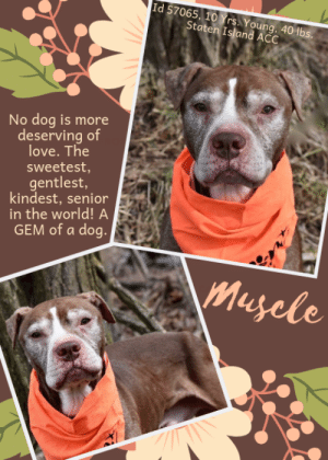 """Cats, Children, and Dogs: Id 57065, 10 Yrs Young, 40 lbs.  Staten Island ACC  No dog is more  deserving of  love. The  sweetest,  gentlest,  kindest, senior  in the world! A  GEM of a dog  Muyele INTAKE DATE – 3/14/2019  Tied to a pole in a local park and abandoned, the sweetest senior in the world deserved way better than he got.  ☹   MUSCLE (what a terrible name they gave him) is anything but. He's a 10 year young senior with a frosty face and no muscle to speak of. In fact, he is only 40 lbs!  Emaciated, with what appear to be pressure sores on his feet and ankles, we have to wonder if he was crated for long hours and systematically starved.  ☹   We want this incredibly gentle, sweet, affectionate and low key senior to get out of the shelter and into a loving retirement home so he can finally know what it means to be loved, pampered and adored. After giving to humans all his life, don't we all think it is time for Muscle to get something in return? Perhaps, just maybe, his puppyhood dream of a family? Read all the volunteer accolades below, and then, if you can save his life, please message our page or email us at MustLoveDogsNYC@gmail.com for assistance.  A volunteer notes:  """"Someone abandoned this sweet pup in a local park, and never looked back. Muscle is such a love! He's in adoptions at SIACC.""""  Another volunteer writes:  """"Muscle is one of them most sweetest and gentle dogs you ever want to meet. We know he was once loved by his demeanor and then he was left tied to a pole in a park where he was found. No one has come in looking for him and he is currently on ID hold until March 20th.""""  A staff member writes:  """"Muscle is an older gentleman; his white fur speckles across the friendliest face. He may be 10 years old, but Muscle is not done giving love any time soon! He is just the sweetest, mellow guy in the yard. He loves to just take it all in and relax with you by his side. Muscle will be sure to find a place in your heart so come meet him at the Staten Isl"""
