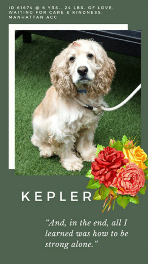 """Being Alone, Cats, and Children: ID 616746 YRS.. 24 LBS. OF LOVE  WAITING FOR CARE & KINDNESS  MANHATTAN AC  KEPLER  """"And, in the end, all I  learned was how to be  strong alone."""" INTAKE DATE – 5/2/2019  Stoic, brave, and incredibly sweet, KEPLER waits, alone, for the vetting he needs for what appears to be a growth on his head.  His face is full of hope and sadness, his heart is heavy over the loss of his family that he loved.  How could they have abandoned him in his greatest hour of need?  It doesn't really even matter.  What matters now is that we find Kepler a new family, a family who will make sure he gets all the TLC, kindness, and happiness his heart can hold.  Kepler is 6 years old, neutered, and waiting for you, at the Manhattan ACC.  If you can foster or adopt him, MESSAGE our page or email us at MustLoveDogsNYC@gmail.com for assistance.  KEPLER, ID# 61674, 6 yrs old, 25.4 lbs, Neutered Male Manhattan ACC, Medium Mixed Breed, Brown / White   Owner Surrender Reason:  Shelter Assessment Rating:  Medical Behavior Rating:  *** TO FOSTER OR ADOPT ***    If you would like to adopt a NYC ACC dog, and can get to the shelter in person to complete the adoption process, you can contact the shelter directly. We have provided the Brooklyn, Staten Island and Manhattan information below. Adoption hours at these facilities is Noon – 8:00 p.m. (6:30 on weekends)  If you CANNOT get to the shelter in person and you want to FOSTER OR ADOPT a NYC ACC Dog, you can PRIVATE MESSAGE our Must Love Dogs page for assistance. PLEASE NOTE: You MUST live in NY, NJ, PA, CT, RI, DE, MD, MA, NH, VT, ME or Northern VA. You will need to fill out applications with a New Hope Rescue Partner to foster or adopt a NYC ACC dog. Transport is available if you live within the prescribed range of states.  Shelter contact information: Phone number (212) 788-4000 Email adopt@nycacc.org Shelter Addresses: Brooklyn Shelter: 2336 Linden Boulevard Brooklyn, NY 11208 Manhattan Shelter: 326 East 110 St. New """