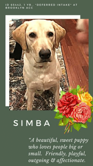 "Being Alone, Beautiful, and Cats: ID 65442. 1 YR.. DEFERRED INTAKE AT  BROOKLYN ACC  SIMBA  ""A beautiful, sweet puppy  who loves people big or  small. Friendly, playful,  outgoing& affectionate. *** ""I am a DEFERRED INTAKE  ***    Beautiful, playful, super sweet SIMBA is looking for a new home.  She is a deferred intake, meaning she is staying in the home of her current family in the hopes that she will find placement before she has to enter the NYC ACC Shelter system.  If you can take her in, please MESSAGE our page or email us at MustLoveDogsNYC@gmail.com for assistance.  A Staff Member Writes: ""Gorgeous 1-year-old Simba is a playful and sweet pup whose owner is no longer able to care for her. She is staying in her owner's home while we seek placement, so please note that we do not have a medical exam or full behavior profile for her at this time.""  SIMBA, ID# 65442, 1 yr old, xx lbs, Unaltered Female Brooklyn ACC, Large Mixed Breed, Golden   Owner Surrender Reason: owner is no longer able to care for her Shelter Assessment Rating:  Medical Behavior Rating:   OWNER SURRENDER NOTES - BASIC INFORMATION:  Simba is a 1 year old large mixed breed dog who is being surrendered due to unforeseen circumstances involving lack of time for care. Simba previously lived with 3 adults and 2 children. Around strangers she is described as outgoing and she jumps and seeks to be petted. Around children she is described as playful and plays exuberantly. Simba has never lived with other dogs but when on walks and a dog is potted she is described to be dog reactive as she would growl and bark loudly. Simba has never lived with cats. She has no known resource guarding issues. Simba never had a bite history. Her previous owner describes her energy level as medium to low.   Has this dog ever had any medical issues? No. Simba has not previous medical issues  For a New Family to Know:  Simba is an exuberant 1 year old large mixed breed dog. She is described to be partially potty trained as she has accidents occasionally and is accustomed to using the bathroom outdoors. She occasionally has accidents according to her owner whenever she is not walked throughout the day. Simba loves stuffed toys, games of tug a war as well as wrestling. Simba has never been around heavy storms nor fireworks. She loves to be outdoors and walked as frequently as possible. When off leash she tends to run around. Simba does however remain close to her owner. Simba is described to like both dry and went food. The brand of food that she enjoys the most is Blue Buffalo. Simba tends to follow her owner around when they arrive home, in addition to likes to be in the same room. She sleeps either on her doggy bed or on a towel. When left alone Simba is described to be well behaved.   ***  TO FOSTER OR ADOPT  ***   If you would like to adopt a NYC ACC dog, and can get to the shelter in person to complete the adoption process, you can contact the shelter directly. We have provided the Brooklyn, Staten Island and Manhattan information below. Adoption hours at these facilities is Noon – 8:00 p.m. (6:30 on weekends)  If you CANNOT get to the shelter in person and you want to FOSTER OR ADOPT a NYC ACC Dog, you can PRIVATE MESSAGE our Must Love Dogs page for assistance. PLEASE NOTE: You MUST live in NY, NJ, PA, CT, RI, DE, MD, MA, NH, VT, ME or Northern VA. You will need to fill out applications with a New Hope Rescue Partner to foster or adopt a NYC ACC dog. Transport is available if you live within the prescribed range of states.  Shelter contact information: Phone number (212) 788-4000 Email adopt@nycacc.org  Shelter Addresses:  Brooklyn Shelter: 2336 Linden Boulevard Brooklyn, NY 11208  Manhattan Shelter: 326 East 110 St. New York, NY 10029  Staten Island Shelter: 3139 Veterans Road West Staten Island, NY 10309  *** NEW NYC ACC RATING SYSTEM ***  Level 1  Dogs with Level 1 determinations are suitable for the majority of homes. These dogs are not displaying concerning behaviors in shelter, and the owner surrender profile (where available) is positive.   Level 2   Dogs with Level 2 determinations will be suitable for adopters with some previous dog experience. They will have displayed behavior in the shelter (or have owner reported behavior) that requires some training, or is simply not suitable for an adopter with minimal experience.   Level 3  Dogs with Level 3 determinations will need to go to homes with experienced adopters, and the ACC strongly suggest that the adopter have prior experience with the challenges described and/or an understanding of the challenge and how to manage it safely in a home environment. In many cases, a trainer will be needed to manage and work on the behaviors safely in a home environment."