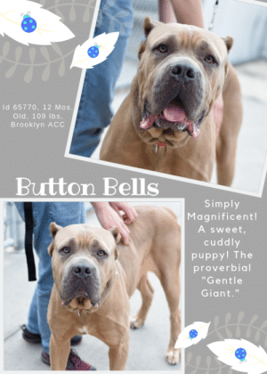 """Dogs, Family, and Love: Id 65770, 12 Mos.  Old, 109 lbs,  Brooklyn ACc  Button Bells  Simply  Magnificent!  A sweet,  cuddly  puppy! The  proverbial  """"Gentle  Giant."""" INTAKE DATE – 6/12/2019  Gee, what can we say about BUTTON BELLS?  Well, let's see – MAGNIFICENT for starters!  He's 109 lbs of muscle and mush, mostly the latter, and thinks he is a lap dog.  Only a baby at barely 12 months old, this gorgeous puppy is the proverbial """"gentle giant.""""  Loving, affectionate, and dreaming of a family of his own, please don't let him wait long.  Message our page or email us at MustLoveDogsNYC@gmail.com for assistance fostering or adopting this memorable and amazing mastiff.  He's ready for summer fun!   BUTTON BELLS, ID# 65770, 1 yr old, 106 lbs, Unaltered Male Brooklyn ACC, Extra Large Mixed Breed, Gray / White   Owner Surrender Reason:  Shelter Assessment Rating:  Medical Behavior Rating:  ***  TO FOSTER OR ADOPT  ***   If you would like to adopt a NYC ACC dog, and can get to the shelter in person to complete the adoption process, you can contact the shelter directly. We have provided the Brooklyn, Staten Island and Manhattan information below. Adoption hours at these facilities is Noon – 8:00 p.m. (6:30 on weekends)  If you CANNOT get to the shelter in person and you want to FOSTER OR ADOPT a NYC ACC Dog, you can PRIVATE MESSAGE our Must Love Dogs page for assistance. PLEASE NOTE: You MUST live in NY, NJ, PA, CT, RI, DE, MD, MA, NH, VT, ME or Northern VA. You will need to fill out applications with a New Hope Rescue Partner to foster or adopt a NYC ACC dog. Transport is available if you live within the prescribed range of states.  Shelter contact information: Phone number (212) 788-4000 Email adopt@nycacc.org  Shelter Addresses:  Brooklyn Shelter: 2336 Linden Boulevard Brooklyn, NY 11208  Manhattan Shelter: 326 East 110 St. New York, NY 10029  Staten Island Shelter: 3139 Veterans Road West Staten Island, NY 10309  *** NEW NYC ACC RATING SYSTEM ***  Level 1  Dogs with Lev"""