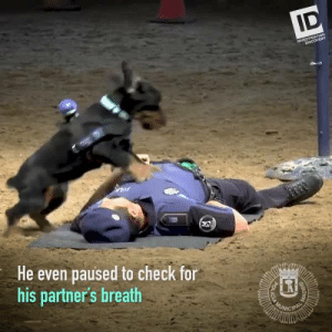 Police Dog Demonstrates Life-Saving CPR For School Kids: ID  INVESTIGATION  DISCOVERY  He even paused to check for  his partner's breath  POLICIA Police Dog Demonstrates Life-Saving CPR For School Kids