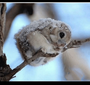Idk if somebody needs this, but here you go, picture od Japanese dwarf flying squirrel, have a nice day: Idk if somebody needs this, but here you go, picture od Japanese dwarf flying squirrel, have a nice day