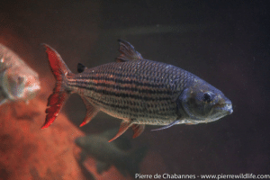 Mobile, Water, and Jaws: ierre de Chabannes - www.pierrewildlife.com One of the great predators of African waters, the African tigerfish (Hydrocynus vittatus) can reach 1 meter in length. With its mobile upper and lower jaws and sharp teeth, it uses its large gape to feed on fishes and even on flying swallows, when they get down to the water to drink on the wing.