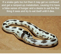 https://t.co/obYZM4qTFq: If a snake gets too hot then it may get so confused  and get a ramped-up metabolism, causing it to have  a false sense of hunger and a desire to eat the first  thing it sees and try to eat itself until it dies. https://t.co/obYZM4qTFq