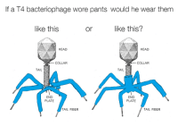 Head, Fiber, and Them: If a T4 bacteriophage wore pants would he wear them  like this  or  like this?  HEAD  HEAD  COLLAR  COLLAR  TAIL  END  PLATE  END  PLATE  TAIL FIBER  TAIL FIBER