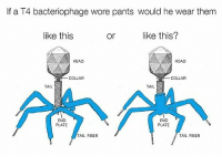 Head, Memes, and Old: If a T4 bacteriophage wore pants would he wear them  like this  or lke this?  HEAD  HEAD  COLLAR  COLLAR  TAIL  END  PLATE  END  PLATE  TAIL FIBER  TAIL FIBER Age old question
