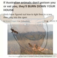 "Animals, Fire, and Memes: If Australian animals don't poison you  or eat you, they'Il BURN DOWN YOUR  HOUSE  Birds have figured out how to light fires to scare  their prey into the open  By  Richard Chirgwin 8 Jan 2018 at 06:01  83SHARE  Black kites foraging near a fire in Australia's outback. Image: Bob Gosford <p>No wonder flat earthers dont think its a real place. via /r/memes <a href=""http://ift.tt/2Fk9LDb"">http://ift.tt/2Fk9LDb</a></p>"
