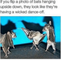 Wicked, Dance, and Bats: If  flip  photo  of  bats  hanging  you a  upside down, they look like they're  having a wicked dance-off.