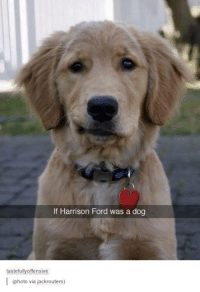 Dogs, Harrison Ford, and Ford: If Harrison Ford was a dog  tastefully offensive  I (photo via jackrouters)