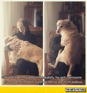 Jealous, Tumblr, and Blog: If I don't pet my dog immediately, he gets someone  else to pet him then  staresat me to see if I'm jealous  THE META PICTURE srsfunny:This Dog