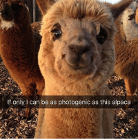 Memes, 🤖, and Bieber: If only I can be as photogenic as this alpaca 😂👏 @will_ent - - - - - - text post textpost textposts relatable comedy humour funny kyliejenner kardashians hiphop follow4follow f4f kanyewest like4like l4l tumblr tumblrtextpost imweak lmao justinbieber relateable lol hoeposts memesdaily oktweet funnymemes hiphop bieber trump