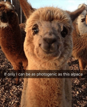 Alpaca, Looking, and Can: If only I can be as photogenic as this alpaca Even alpacas are better looking then me!