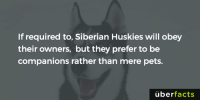 Memes, Wikipedia, and Husky: If required to, Siberian Huskies will obey  their owners, but they prefer to be  companions rather than mere pets.  uber  facts https://en.wikipedia.org/wiki/Siberian_Husky
