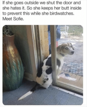 Animals, Butt, and Dogs: If she goes outside we shut the door and  she hates it. So she keeps her butt inside  to prevent this while she birdwatches.  Meet Sofie. Dog Memes Of The Day 32 Pics – Ep33 #dogs #doglovers #lovelyanimalsworld - Lovely Animals World