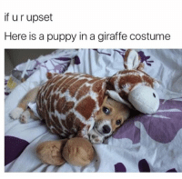 Memes, Ted, and Animal: if u r upset  Here is a puppy in a giraffe costume @hilarious.ted has the best animal memes | Tag someone who needs to see this.