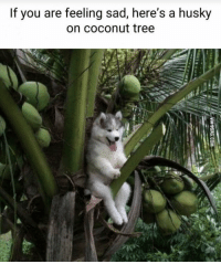 Memes, Husky, and Tree: If you are feeling sad, here's a husky  on coconut tree https://t.co/8yPH6q5aNu