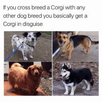 Neat. @doggosdoingthings: If you cross breed a Corgi with any  other dog breed you basically get a  Corgi in disguise Neat. @doggosdoingthings