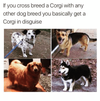 Corgi, Funny, and Omg: If you cross breed a Corgi with any  other dog breed you basically get a  Corgi in disguise Omg I want all of them @friendofbae 😍