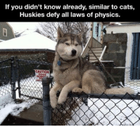 Cats, Dogs, and Physics: If you didn't know already, similar to cats,  Huskies defy all laws of physics.  CAUTION  DoGS  RUNNiA <p>Huskies Are Special.</p>